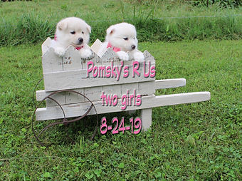 Pomsky puppies for sell