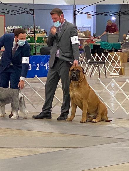 bullmastiff puppy for sale