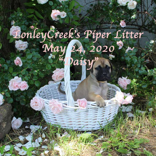 PiperLitterDaisy6wksold.jpg