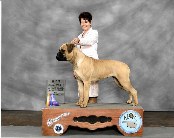 Bullmastiff show dog puppy