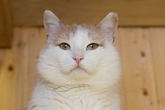 Черно-белый красавец Бантик ласковая и добрая, осторожная, ищет дом, отдаётся в добрые руки бесплатно из приюта для кошек Кошачья надежда!