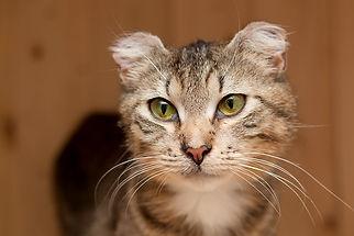 Полосатая Сима ласковая и добрая, осторожная, ищет дом, отдаётся в добрые руки бесплатно из приюта для кошек Кошачья надежда!