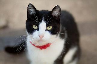 Полосатая Сайра ласковая и добрая, осторожная, ищет дом, отдаётся в добрые руки бесплатно из приюта для кошек Кошачья надежда!