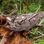 dead-tree-fallen-decaying.jpg