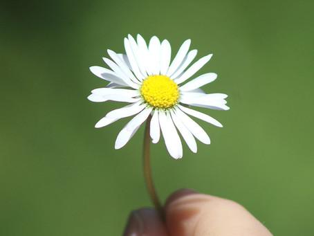 A Daisy from the Garden