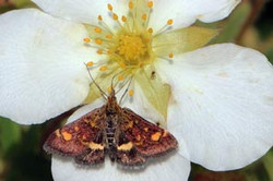 Mint moth (Pyrausta purpuralis).jpg