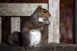 Grey squirrel (Sciurus carolinensis).jpg