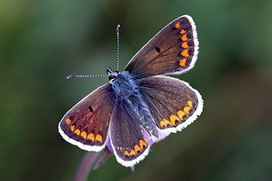 Brown argus (Aricia agestis) female