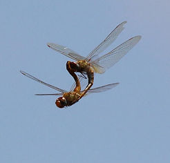 Red-veined darters (Sympetrum fonscolombii) mating