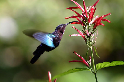 Purple-throated carib hummingbird (Eulampis jugularis) feeding