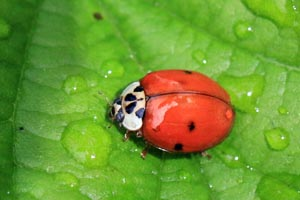 Ten-spotted Ladybird (Adalia decempunctata).jpg