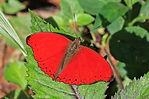 Red glider (Cymothoe hobarti).jpg