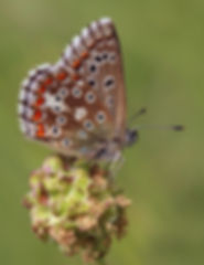 Adonis blue (Polyommatus bellargus) female