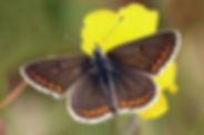 Brown argus  (Aricia agestis) male