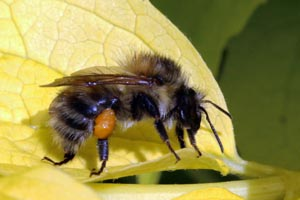 Common carder bee (Bombus pascuorum).jpg
