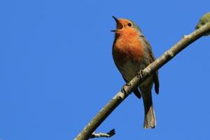 European robin (Erithacus rubecula) singing.jpg