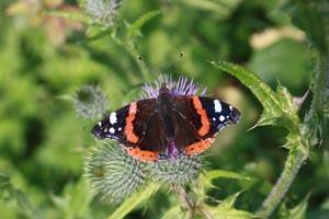 Red admiral butterfly (Vanessa atalanta) worn.jpg