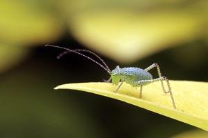 Speckled bush-cricket (Leptophyes punctatissima) nymph.jpg