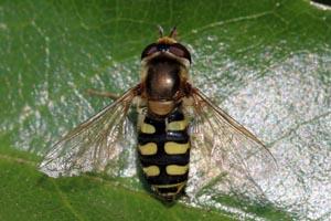 Hoverfly (Eupeodes corollae) female.jpg