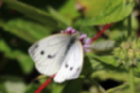Green-veined white butterfly (Pieris napi) female second brood