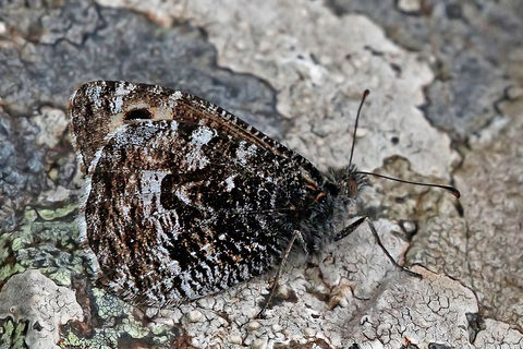 Grayling (Hipparchia semele atlantica)