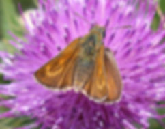 Lulworth skipper (Thymelicus acteon) female