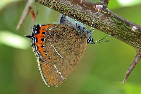 Black hairstreak (Satyrium pruni) female laying egg