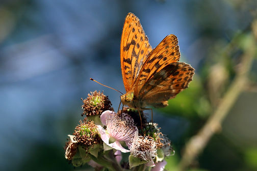 Silver-washed fritillary butterfly (Argynnis paphia) male