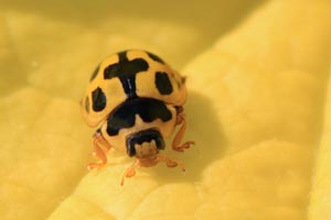 14-spotted ladybird