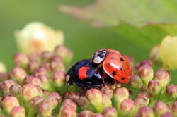 Harlequin ladybirds (Harmonia axyridis) mating.jpg