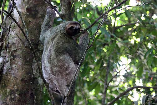 Brown-throated sloth (Bradypus variegatus) female