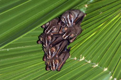 Tent-making bats (Uroderma bilobatum)