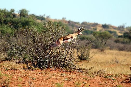 Springbok (Antidorcas marsupialis) pronking