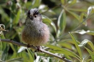 Long-tailed tit (Aegithalos caudatus) young bird.jpg