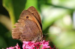 Meadow brown butterfly (Maniola jurtina) male underside worn.jpg