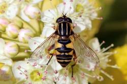 Hoverfly (Helophilus pendulus) female.jpg