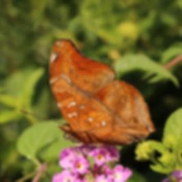 Autumn leaf (Doleschallia bisaltide)