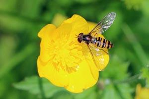 Marmalade hoverfly (Episyrphus balteatus) female.jpg