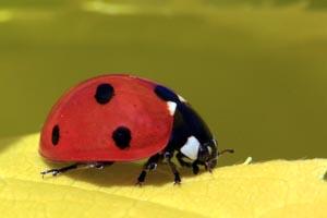 Seven spot ladybird (Coccinella septempunctata).jpg