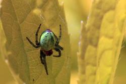 Green orb spider (Araniella cucurbitina).jpg