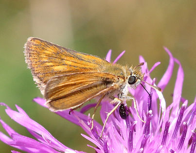 Lulworth skipper (Thymelicus acteon) female