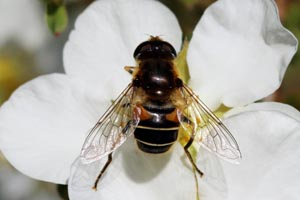 Drone fly hoverfly (Eristalis pertinax) female.jpg
