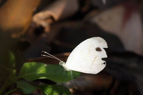African Wood White (Leptosia alcesta)