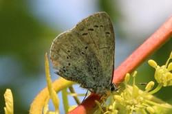 Small blue butterfly (Cupido minimus) worn.jpg