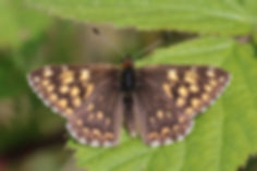 Duke of Burgundy (Hamearis lucina) male