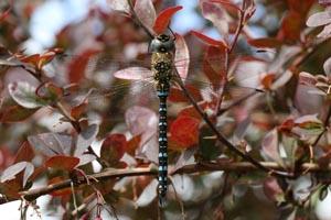 Migrant hawker dragonfly (Aeshna mixta) male.jpg