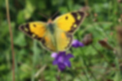 Clouded yellow (Colias croceus) female