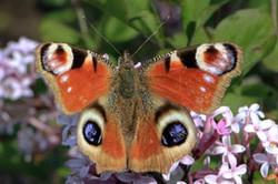 European peacock butterfly (Inachis io).jpg