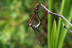 Common darter dragonflies (Sympetrum striolatum) mating