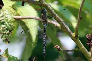 Migrant hawker dragonfly (Aeshna mixta) male 2.jpg